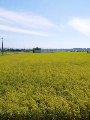 健康農園さんの無農薬栽培『雑穀米』『発芽玄米』大好評販売中!令和3年度の稲刈りはまもなくです!_a0254656_18555643.jpg