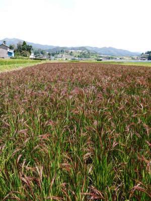健康農園さんの無農薬栽培『雑穀米』『発芽玄米』大好評販売中!令和3年度の稲刈りはまもなくです!_a0254656_19010191.jpg