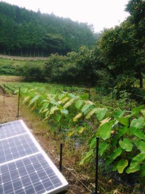 栗の王様『利平栗』令和3年度も完売御礼! 熊本県菊池市の山奥で無農薬、無化学肥料で育てた『利平栗』です_a0254656_16590035.jpg