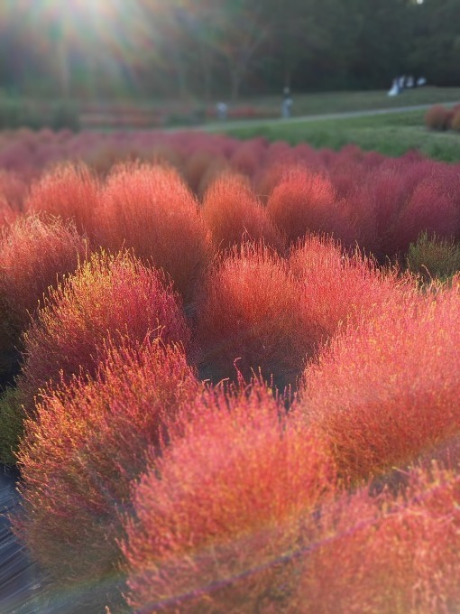 明日香村のコキアが真っ赤に紅葉して来ました。_a0228333_21370924.jpg
