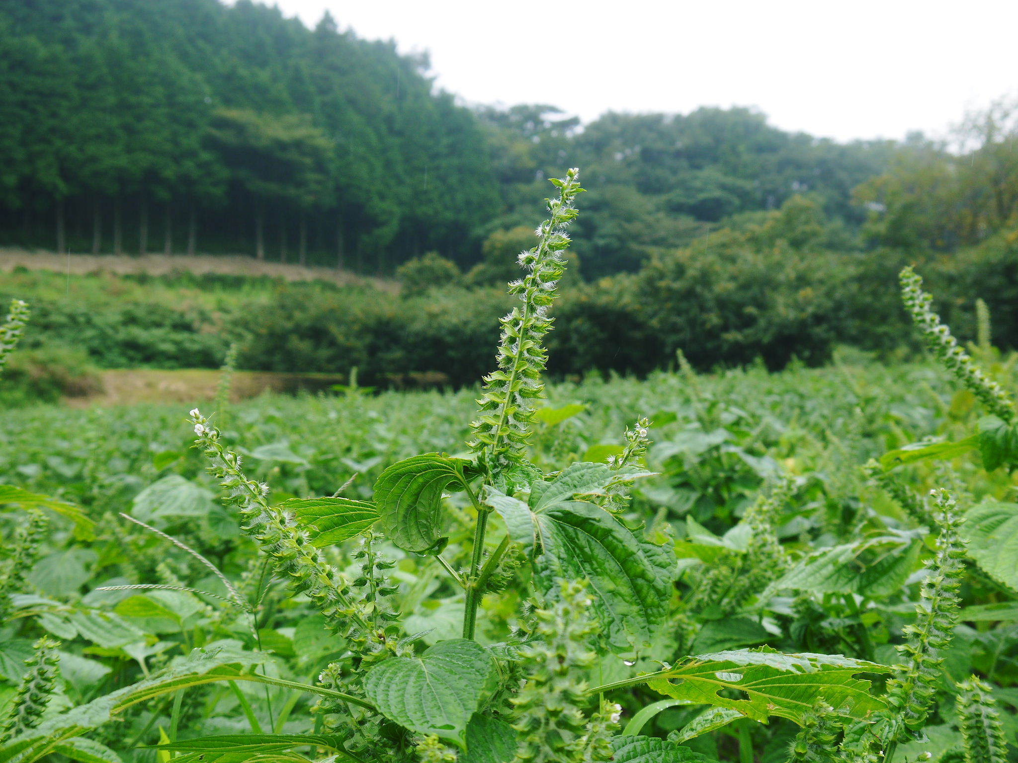 令和3年の「白エゴマ」の収穫スタート(前編) 無農薬で育てた菊池水源産『えごま油』は数量限定評販売中!_a0254656_18420530.jpg