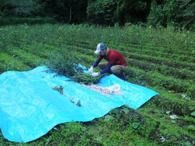 令和3年の「白エゴマ」の収穫スタート(前編) 無農薬で育てた菊池水源産『えごま油』は数量限定評販売中!_a0254656_18512573.jpg