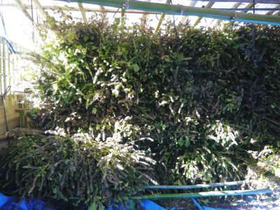 令和3年の「白エゴマ」の収穫スタート(前編) 無農薬で育てた菊池水源産『えごま油』は数量限定評販売中!_a0254656_18545505.jpg