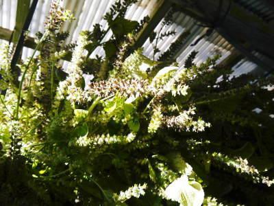令和3年の「白エゴマ」の収穫スタート(前編) 無農薬で育てた菊池水源産『えごま油』は数量限定評販売中!_a0254656_18570829.jpg
