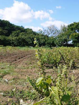 令和3年の「白エゴマ」の収穫スタート(前編) 無農薬で育てた菊池水源産『えごま油』は数量限定評販売中!_a0254656_18594989.jpg