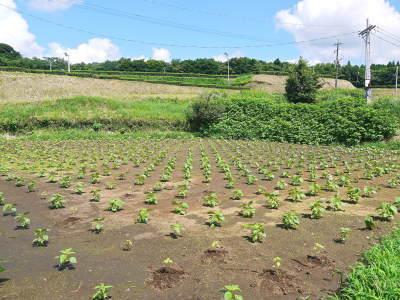 令和3年の「白エゴマ」の収穫スタート(後編) 無農薬で育てた菊池水源産『えごま油』は数量限定評販売中! _a0254656_18485421.jpg