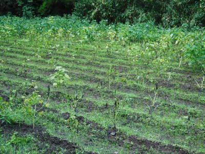 令和3年の「白エゴマ」の収穫スタート(後編) 無農薬で育てた菊池水源産『えごま油』は数量限定評販売中! _a0254656_19031474.jpg