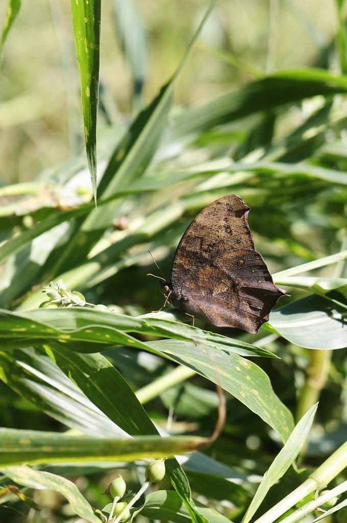 クロコノマチョウ、羽化直の開翅を逃す_e0224357_22273069.jpg