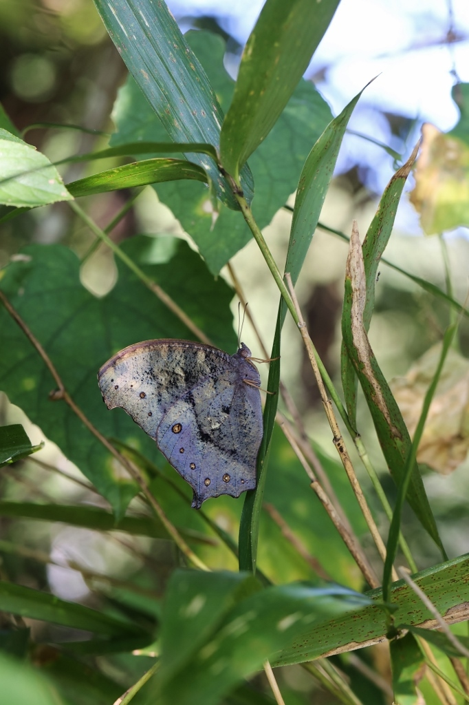 クロコノマチョウ、羽化直の開翅を逃す_e0224357_22284592.jpg