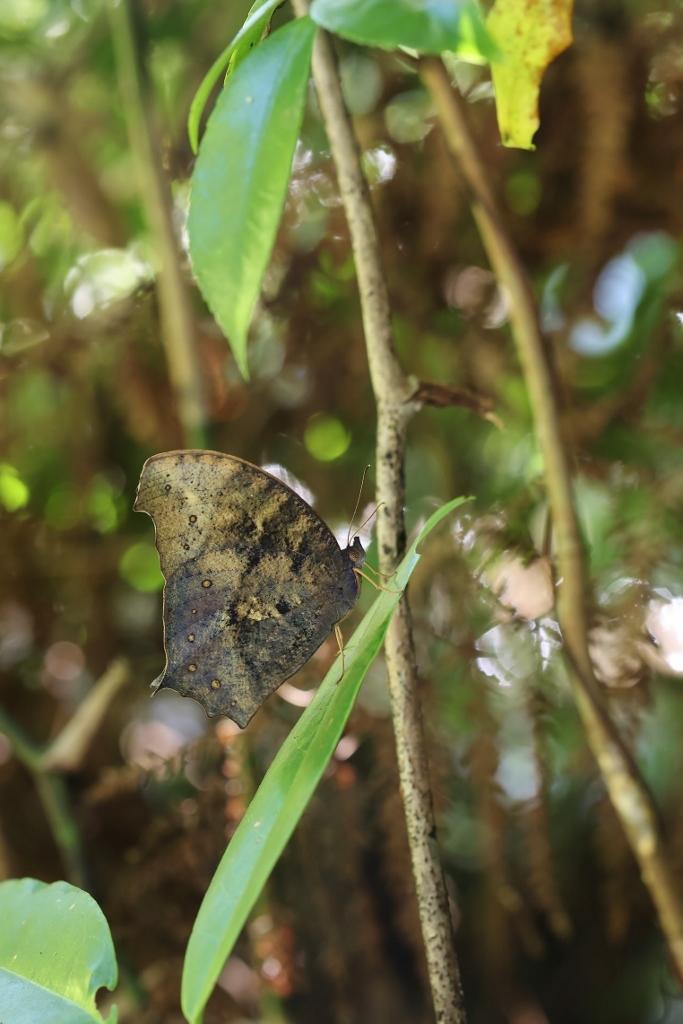 クロコノマチョウ、羽化直の開翅を逃す_e0224357_22304158.jpg