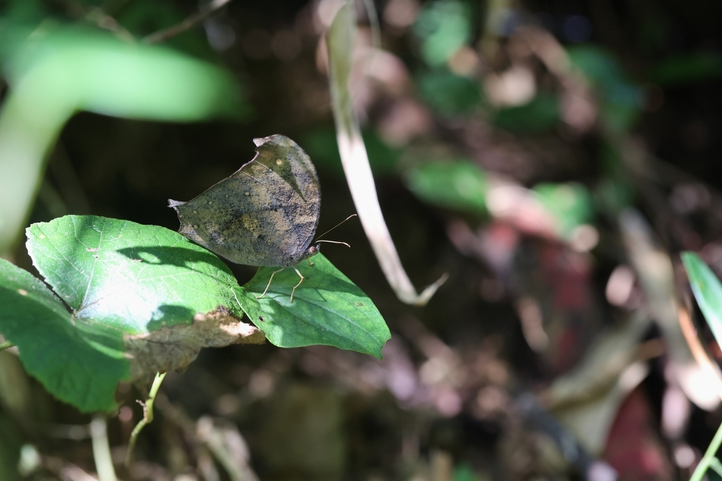 クロコノマチョウ、羽化直の開翅を逃す_e0224357_22310992.jpg
