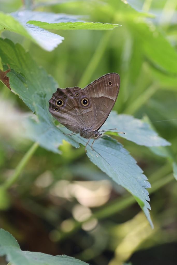 クロコノマチョウ、羽化直の開翅を逃す_e0224357_22421044.jpg