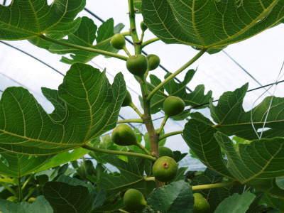 『甘熟いちじく』数量限定、完全予約制好評発売中!いちじくは不老長寿の果実とも呼ばれているフルーツです_a0254656_17523593.jpg