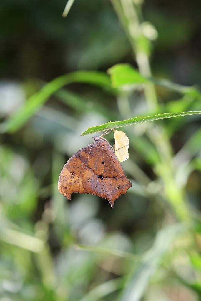 クロコノマチョウの羽化ぶら下りから開翅_e0224357_21485486.jpg