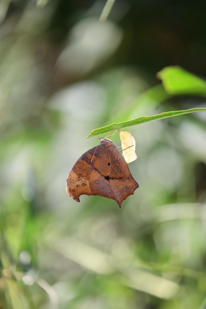 クロコノマチョウの羽化ぶら下りから開翅_e0224357_21491055.jpg