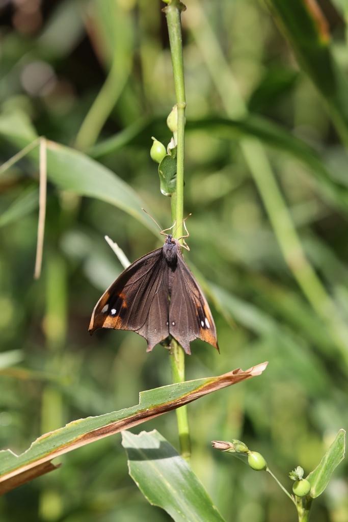 クロコノマチョウの羽化ぶら下りから開翅_e0224357_21510923.jpg