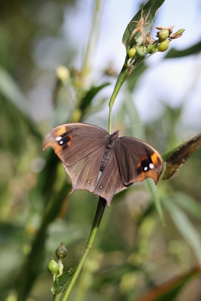 クロコノマチョウの羽化ぶら下りから開翅_e0224357_21524998.jpg