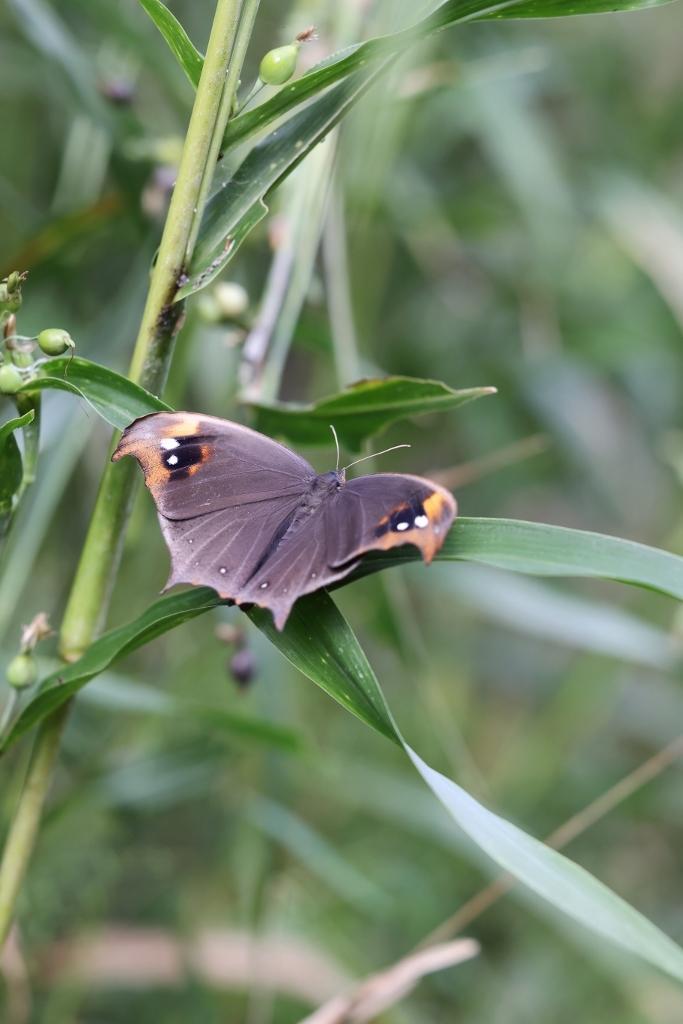 クロコノマチョウの羽化ぶら下りから開翅_e0224357_21553323.jpg