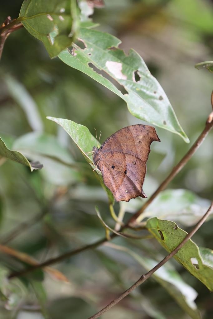 クロコノマチョウの羽化ぶら下りから開翅_e0224357_21561729.jpg