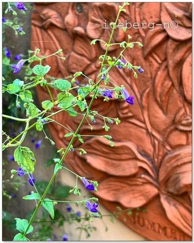 アキチョウジの花が満開です。_e0366161_20081050.jpeg