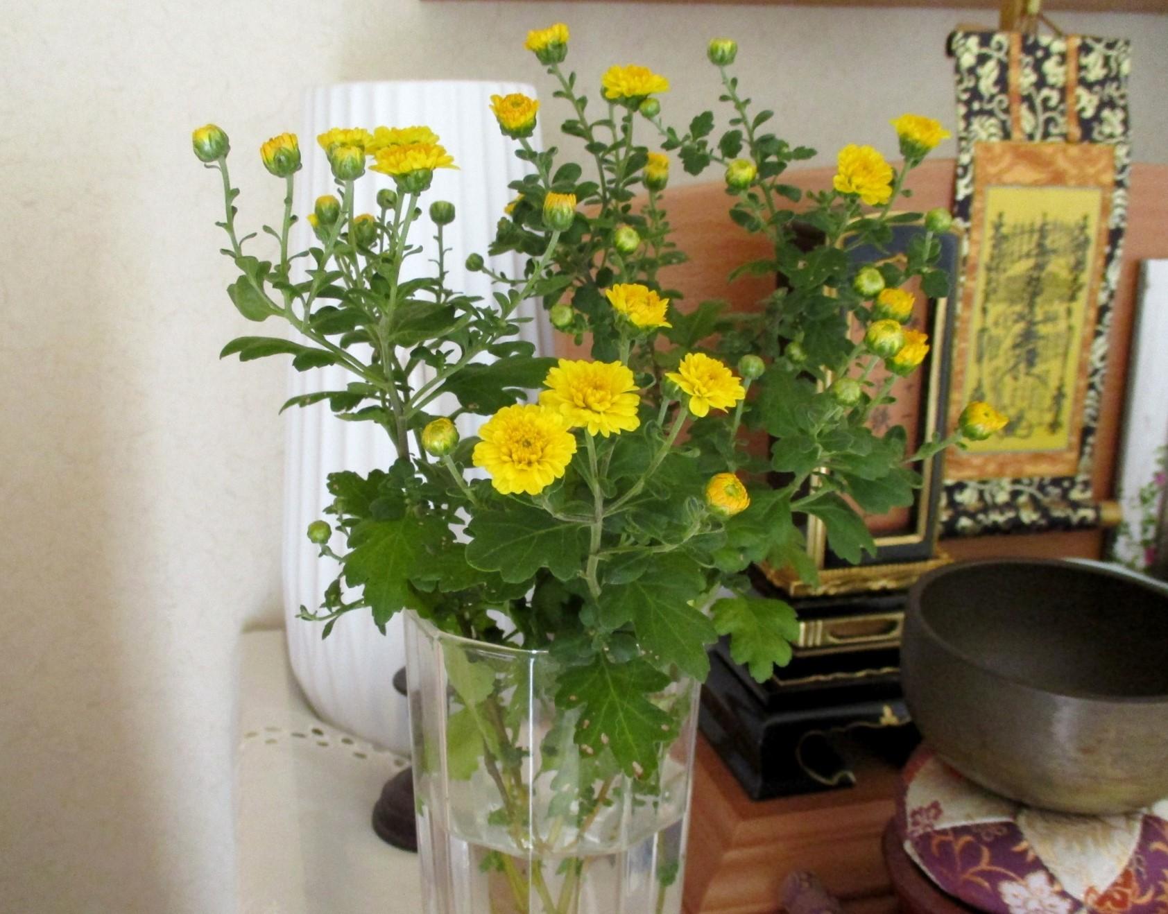 菊が咲いたよ&エコー検査結果_e0200101_16463715.jpg