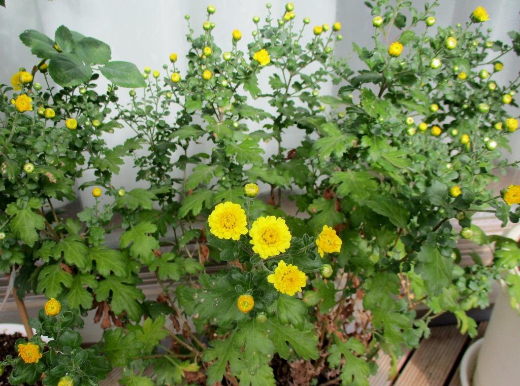 菊が咲いたよ&エコー検査結果_e0200101_16463775.jpg