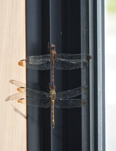 Dragonflies at window frame, Oxya yezoensis on bonnet _f0006713_22052065.jpg