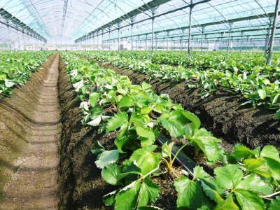 熊本限定栽培品種のイチゴ『熊紅(ゆうべに)』定植後の様子 令和3年度も12月上旬から出荷予定!_a0254656_18284014.jpg