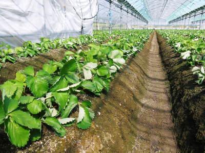 熊本限定栽培品種のイチゴ『熊紅(ゆうべに)』定植後の様子 令和3年度も12月上旬から出荷予定!_a0254656_18291888.jpg