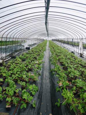熊本限定栽培品種のイチゴ『熊紅(ゆうべに)』定植後の様子 令和3年度も12月上旬から出荷予定!_a0254656_18343361.jpg
