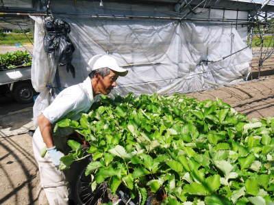 熊本限定栽培品種のイチゴ『熊紅(ゆうべに)』定植後の様子 令和3年度も12月上旬から出荷予定!_a0254656_18373947.jpg