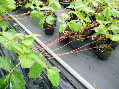 熊本限定栽培品種のイチゴ『熊紅(ゆうべに)』定植後の様子 令和3年度も12月上旬から出荷予定!_a0254656_18410076.jpg