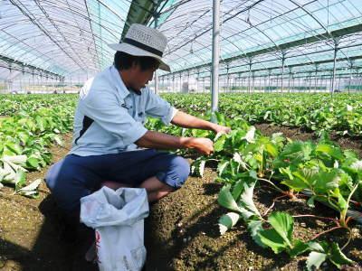 熊本限定栽培品種のイチゴ『熊紅(ゆうべに)』定植後の様子 令和3年度も12月上旬から出荷予定!_a0254656_18531150.jpg