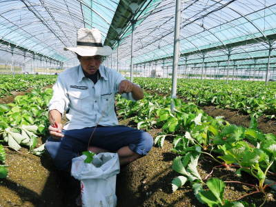 熊本限定栽培品種のイチゴ『熊紅(ゆうべに)』定植後の様子 令和3年度も12月上旬から出荷予定!_a0254656_18551048.jpg