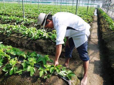 熊本限定栽培品種のイチゴ『熊紅(ゆうべに)』定植後の様子 令和3年度も12月上旬から出荷予定!_a0254656_18571363.jpg
