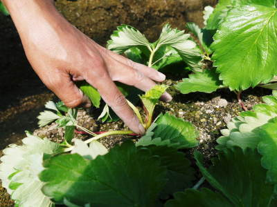 熊本限定栽培品種のイチゴ『熊紅(ゆうべに)』定植後の様子 令和3年度も12月上旬から出荷予定!_a0254656_18595451.jpg