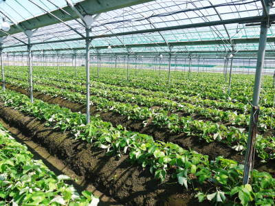 熊本限定栽培品種のイチゴ『熊紅(ゆうべに)』定植後の様子 令和3年度も12月上旬から出荷予定!_a0254656_19061535.jpg