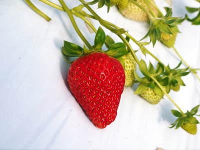 熊本限定栽培品種のイチゴ『熊紅(ゆうべに)』定植後の様子 令和3年度も12月上旬から出荷予定!_a0254656_19072309.jpg