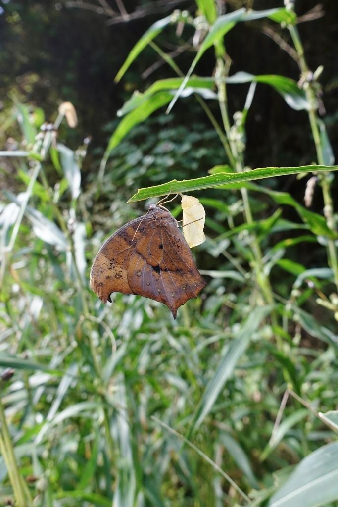 クロコノマチョウの羽化ぶら下りから開翅_e0224357_21292846.jpg
