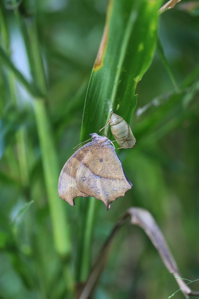 クロコノマチョウの羽化ぶら下りから開翅 その2_e0224357_21334503.jpg