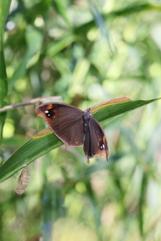 クロコノマチョウの羽化ぶら下りから開翅 その2_e0224357_21373359.jpg