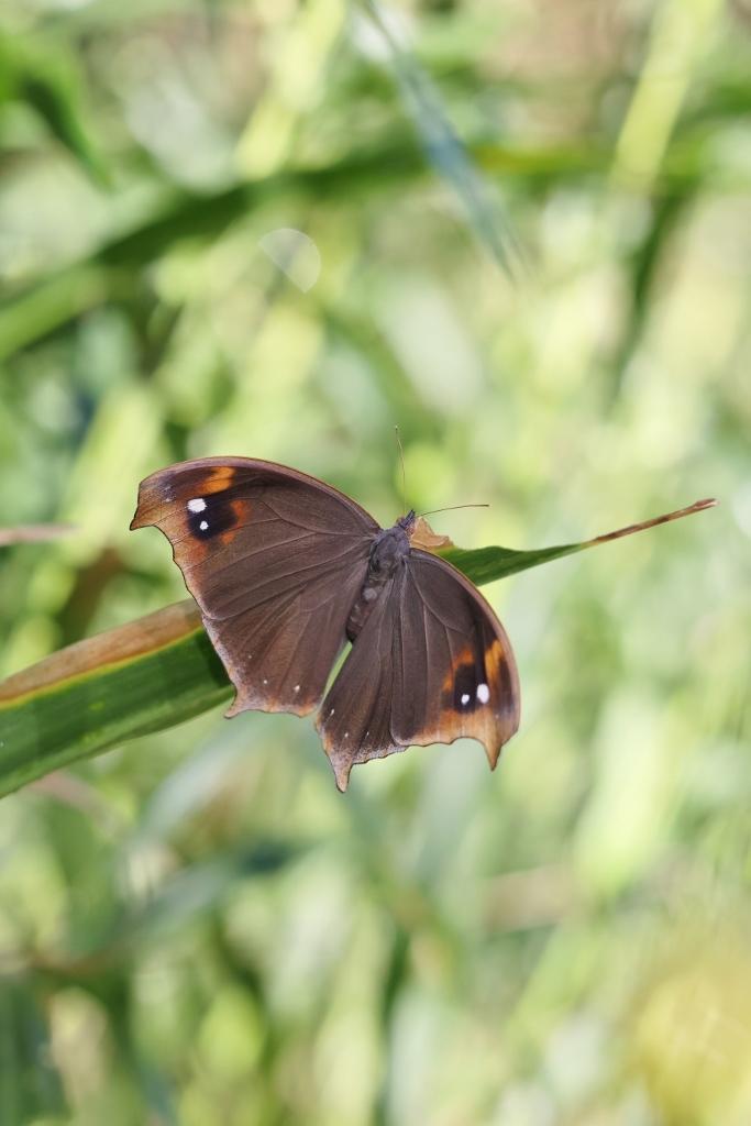 クロコノマチョウの羽化ぶら下りから開翅 その2_e0224357_21380539.jpg