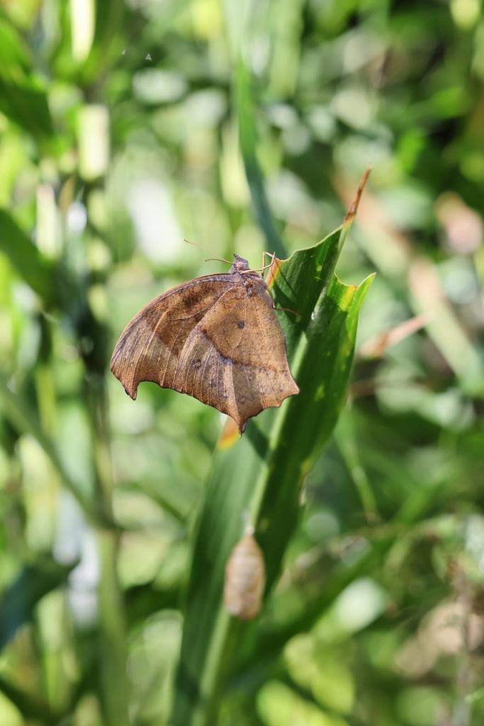 クロコノマチョウの羽化ぶら下りから開翅 その2_e0224357_21385270.jpg