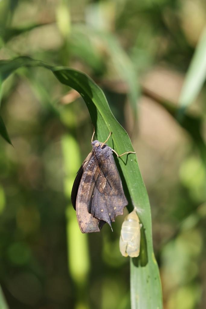 クロコノマチョウの羽化ぶら下りから開翅 その2_e0224357_21401135.jpg