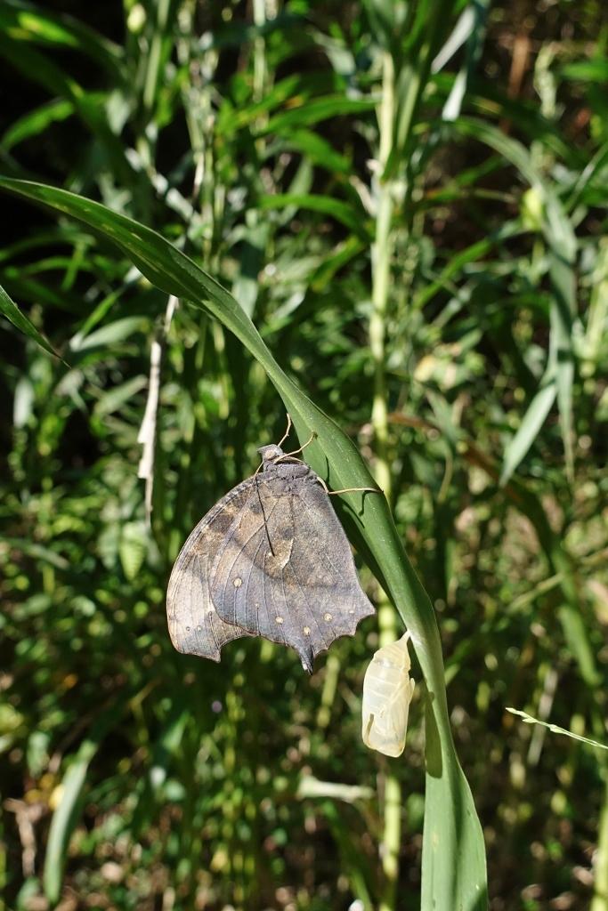 クロコノマチョウの羽化ぶら下りから開翅 その2_e0224357_21403502.jpg