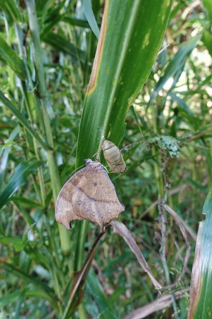 クロコノマチョウの羽化ぶら下りから開翅 その2_e0224357_21423011.jpg
