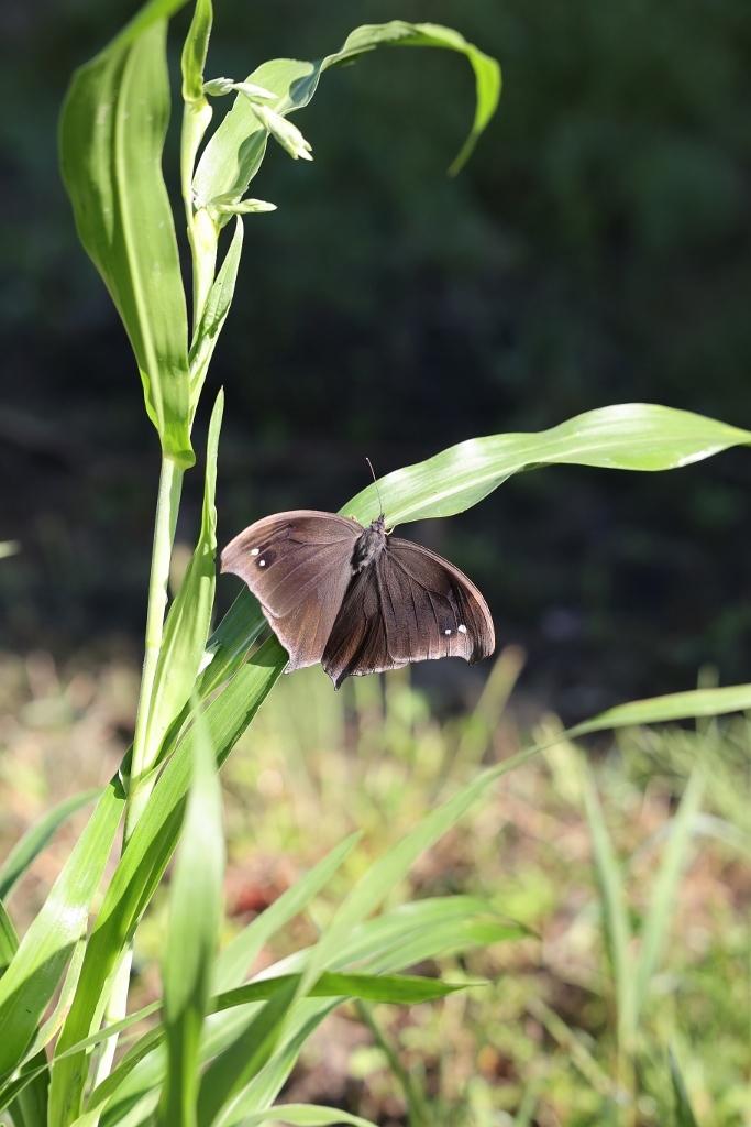 クロコノマチョウの羽化ぶら下りから開翅 その2_e0224357_21453150.jpg