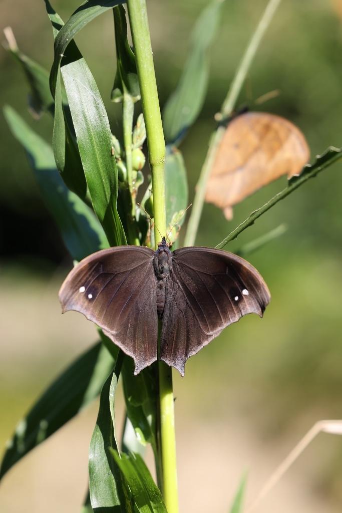 クロコノマチョウの羽化ぶら下りから開翅 その2_e0224357_21465071.jpg