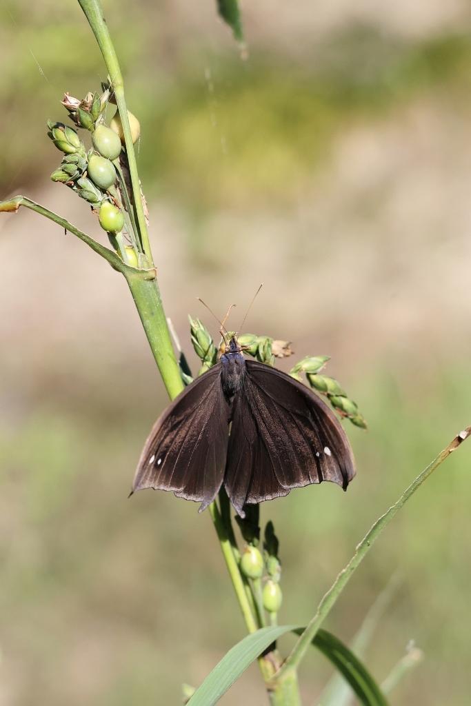 クロコノマチョウの羽化ぶら下りから開翅 その2_e0224357_21483008.jpg