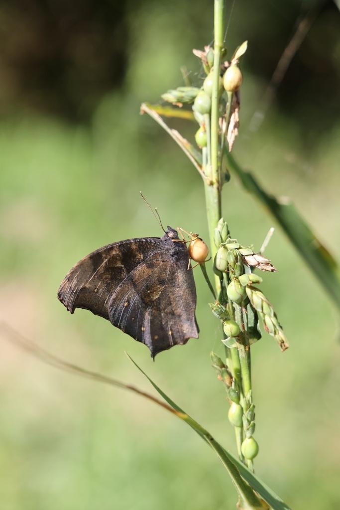クロコノマチョウの羽化ぶら下りから開翅 その2_e0224357_21490176.jpg